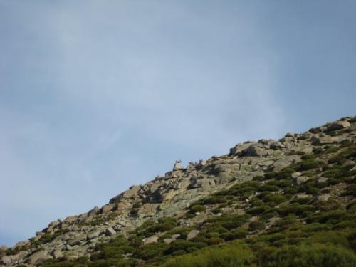 Gredos Ibex herd