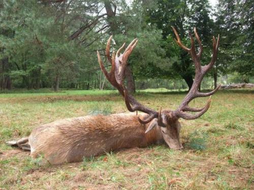 Eastern_European_Red_Deer008