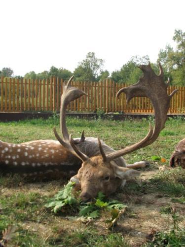 European_Fallow_Deer008