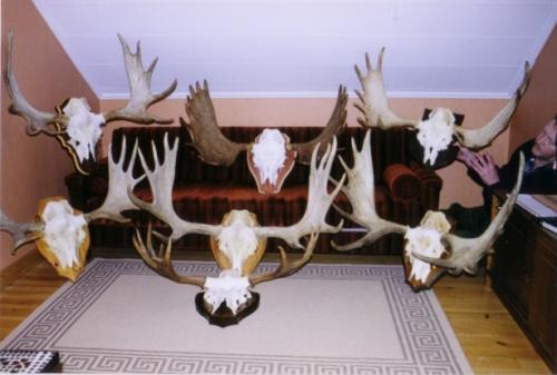 European_Moose002