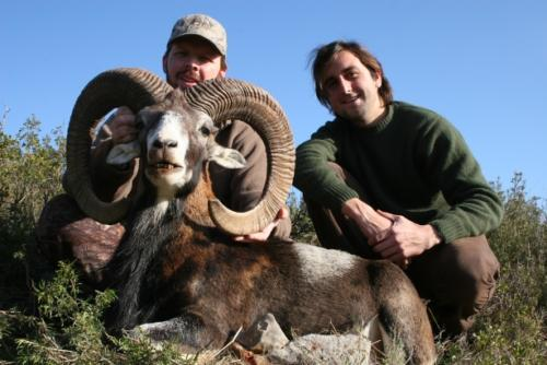 IBERIAN MOUFLON SHEEP